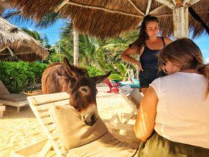 Sancho Donkey begging for food