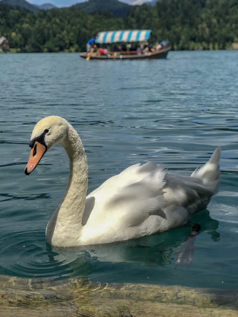 Beautiful swan in Lake Bled